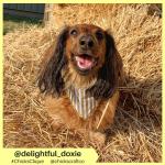 delightful_doxie (10)
