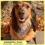 delightful_doxie (12)