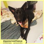 gypsyrosethepup (6)