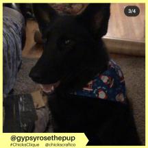 gypsyrosethepup (8)