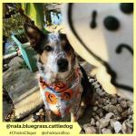 nala.bluegrass.cattledog (2)