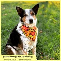 nala.bluegrass.cattledog (3)