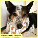 nala.bluegrass.cattledog (5)