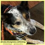 nala.bluegrass.cattledog