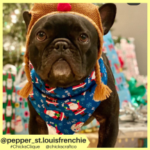 pepper_st.louisfrenchie