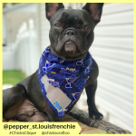 pepper_st.louisfrenchie (13)