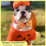 pepper_st.louisfrenchie (18)