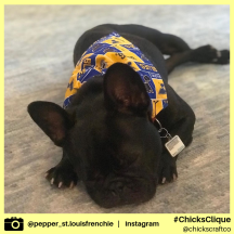 pepper_st.louisfrenchie (8)