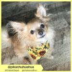 pikachuhuahua (2)