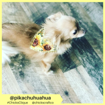 pikachuhuahua (3)
