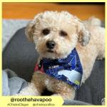 roothehavapoo (2)