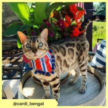 cardi_bengal
