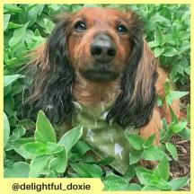 delightful_doxie (2)