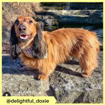 delightful_doxie (3)