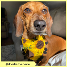 doodle.the.doxie (2)