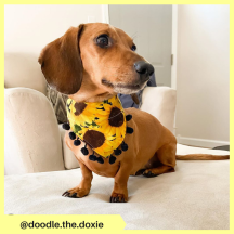 doodle.the.doxie (3)