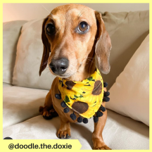 doodle.the.doxie