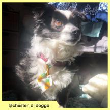 chester_d_doggo