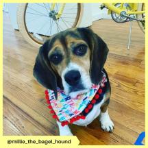 millie_the_bagel_hound