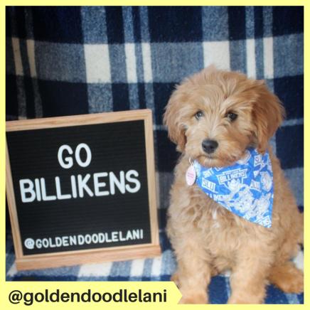 goldendoodlelani