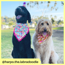 harpo.the.labradoodle